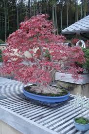 autumn tree bonsai