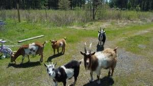 Little Rock For Sale Baby Goats Baby Goats Goats Rocks For Sale