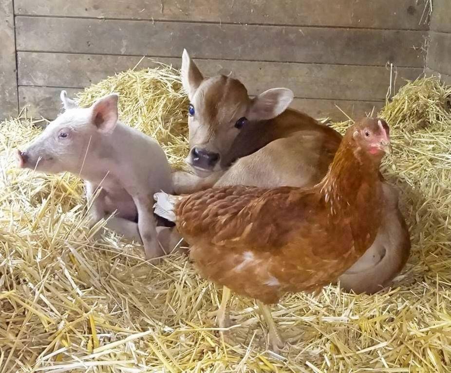 Source thevegguy Animals beautiful, Farm animals