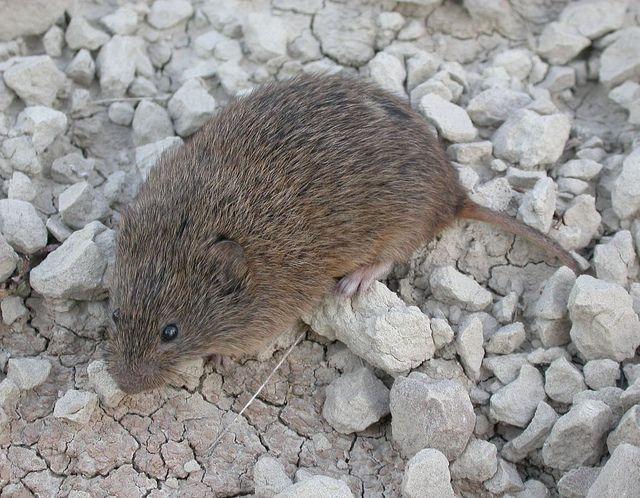 Prairie Vole (Microtus ochrogaster) Prairie, Wildlife