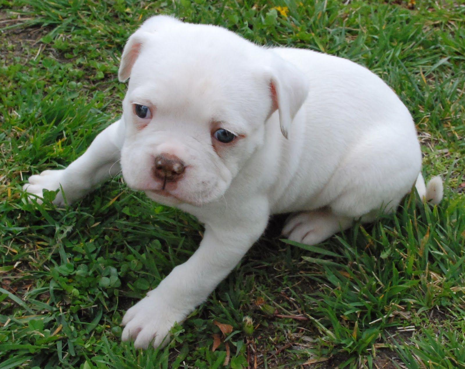 american bulldog puppy   american bulldog puppies, white