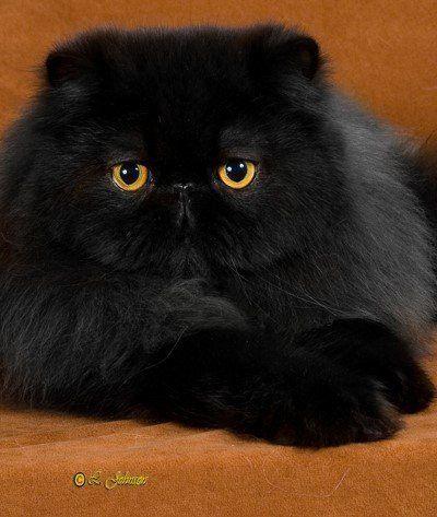 Black Persian Cute Cats Pretty Cats Persian Kittens