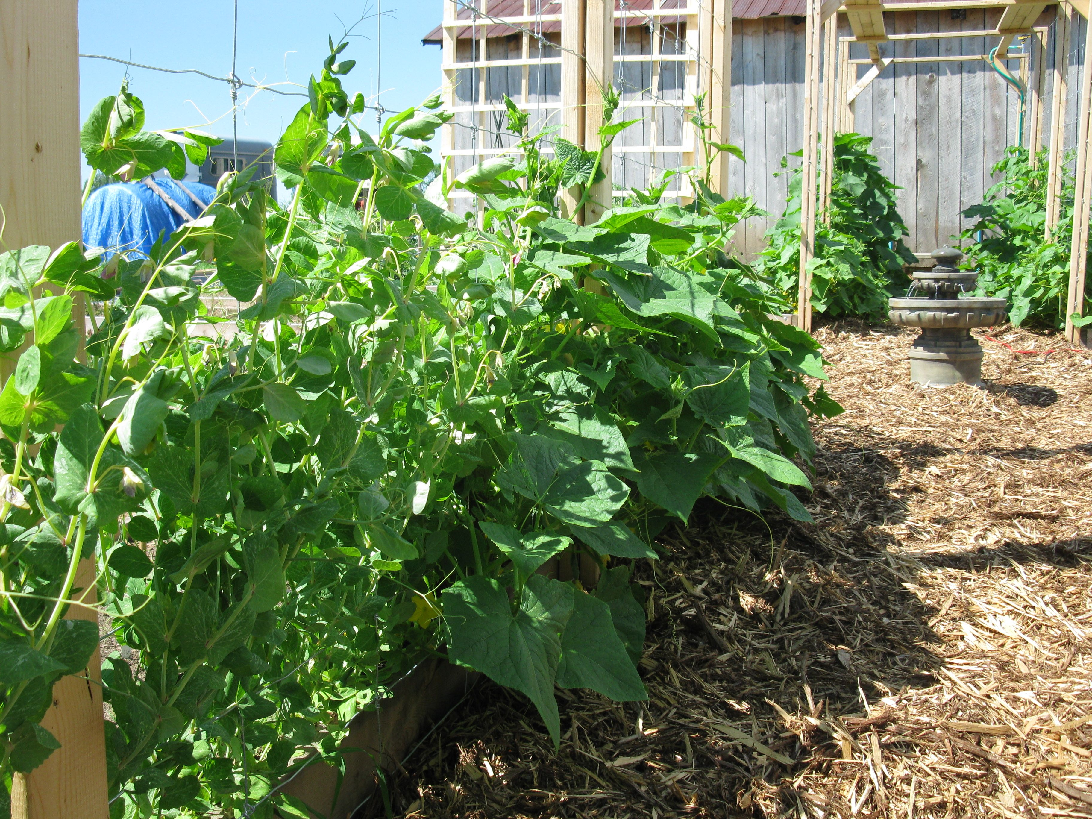 Growing an Organic Vertical Vegetable Garden on Trellis to Avoid Weeding.