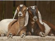 nubian goats - - Yahoo Image Search Results