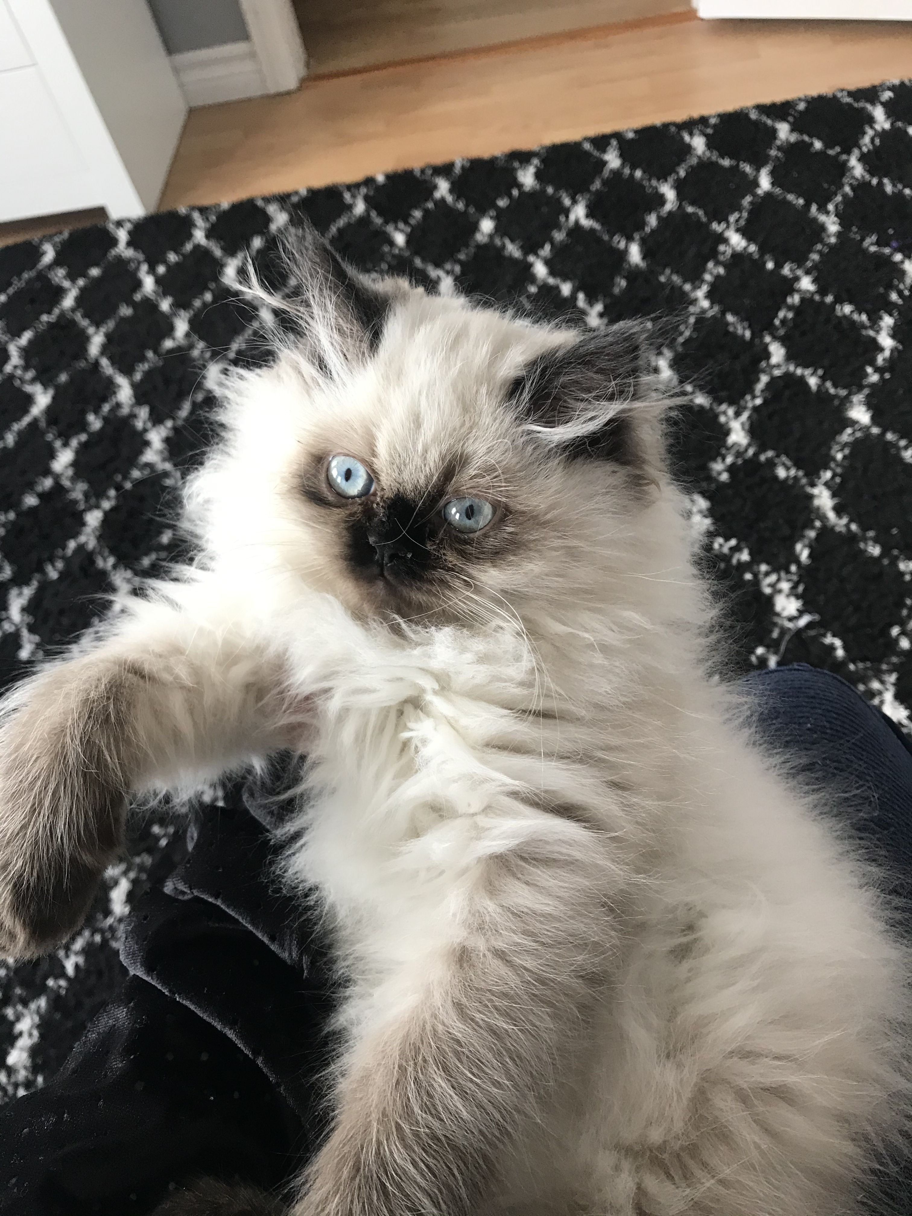 This is Lunabelle in 2020 Himalayan kitten, Cute animals