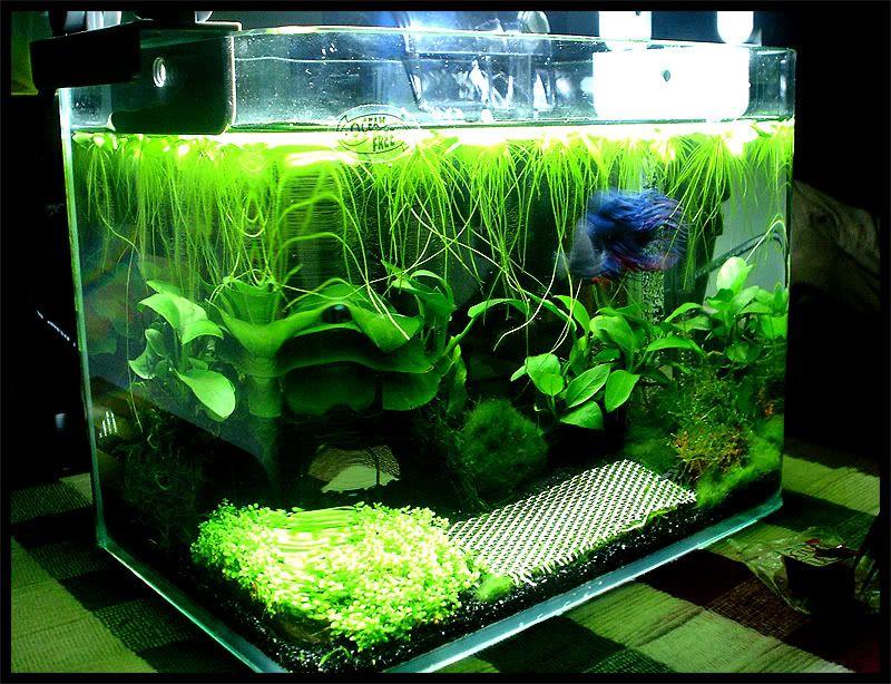 2litre planted betta tank aquariums pinterest betta for Betta fish plant tank