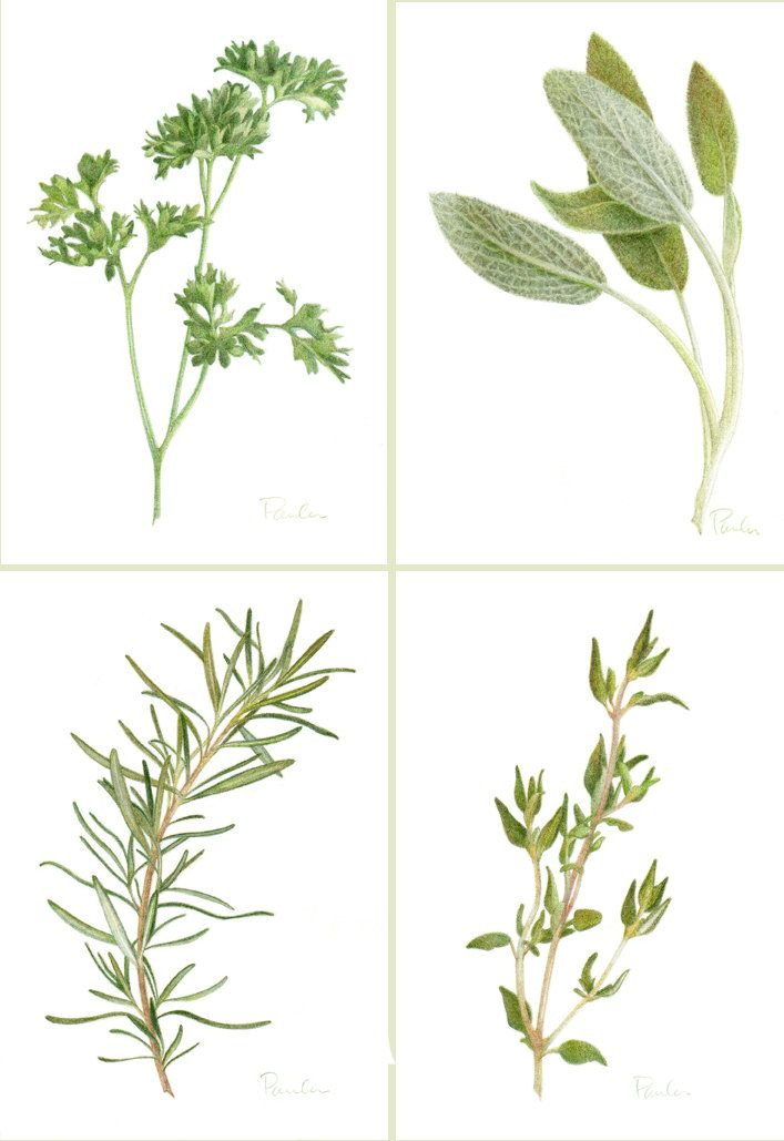 Sage Illustration 4 Herb PRINTS /...