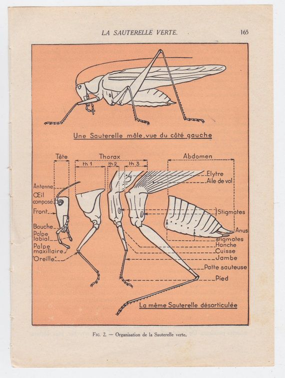 Vintage French 1950s Science Book Plate Page Grasshopper Illustrated
