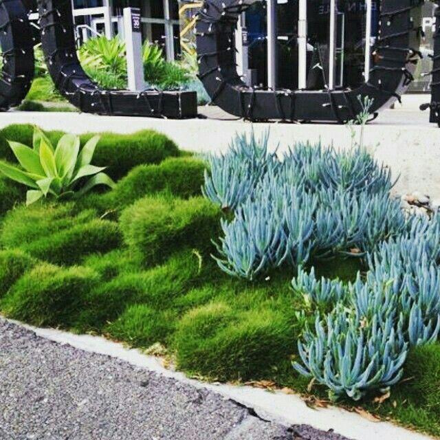 Zoysia tenuifolia senerio serpens agava attanuata for Planting schemes with grasses