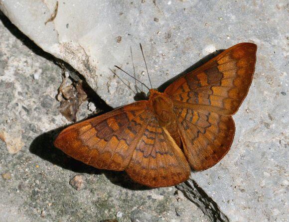 Butterflies of Amazonia - Emesis lupina - Ochreous Emesis