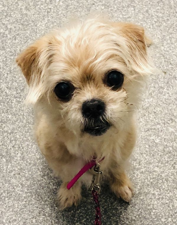 Fern Adoptable Dog Senior Female Shih Tzu Mix Shihtzu Shih