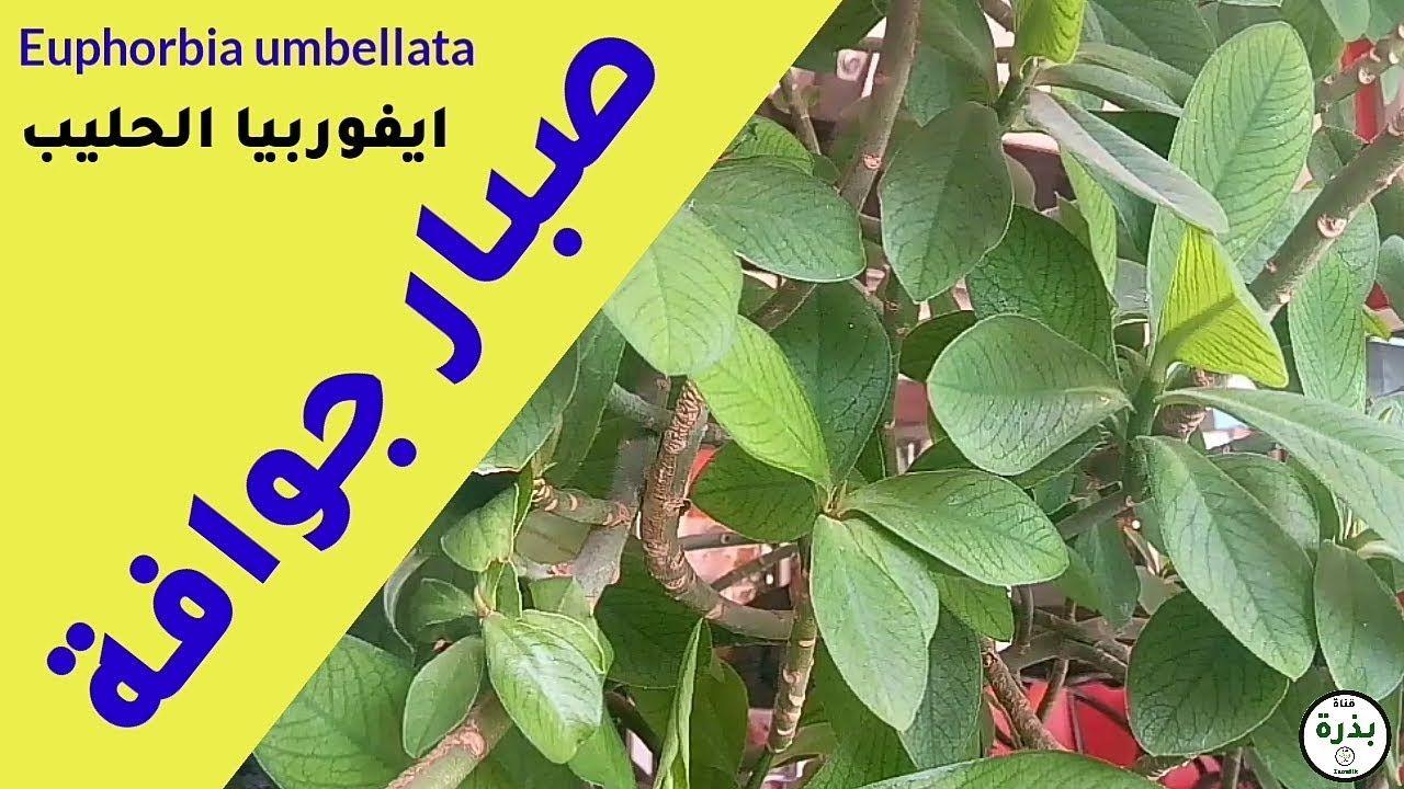 نبات صبار جوافة ايفوربيا الحليب Euphorbia Umbellata أو شجيرة الحليب الافريقية Https Youtu Be H9fi6b80gwa Euphorbia Plants Playbill