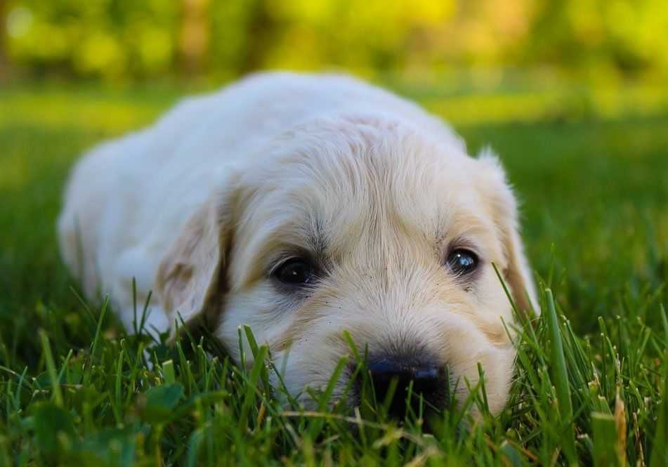 Jax male akc golden retriever puppy for sale at new