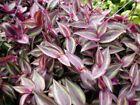 Plant Burgundy Wandering Jew 4 Pots Easy to Grow Live Houseplant Indoor #plants #seeds #wanderingjewplant