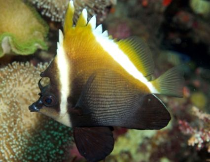 Butterflyfish Marine Fish For Sale Fish Pet Sea Creatures