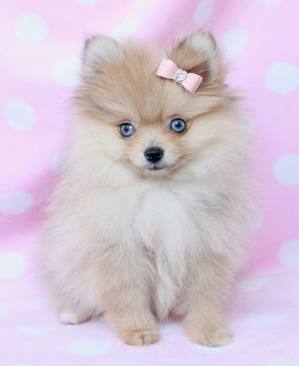 I've always wanted a white or cream pom with blue eyes 😍