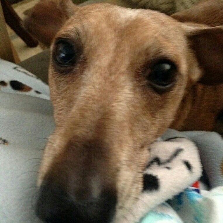 Follow Zoe_dachshund on Instagram!!!! Dogs, Dachshund