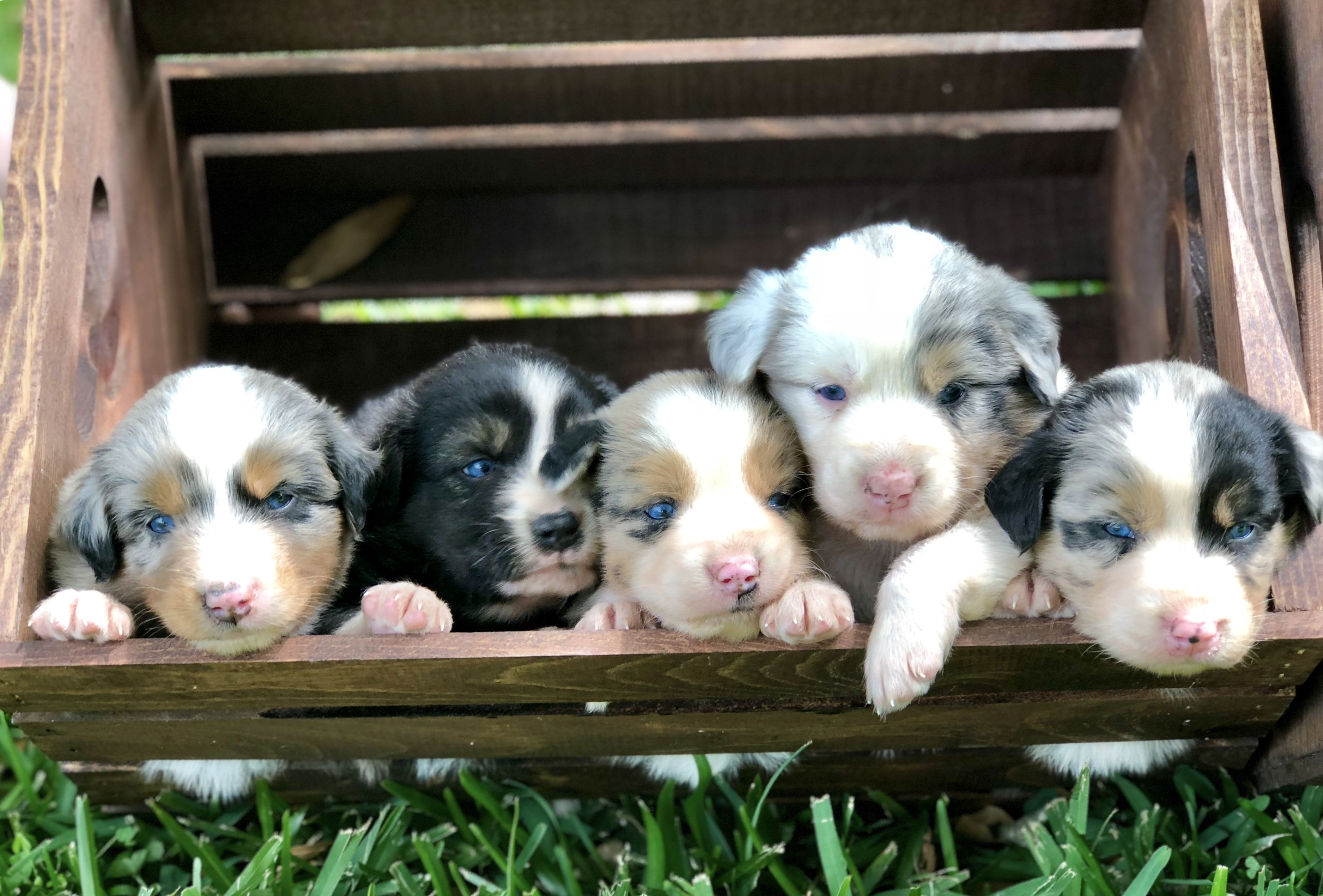 Australian shepherd puppies scattered oaks ranch httpsm