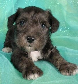 Schnoodle Puppies Giant Schnoodle Puppies Purebred Puppies Schnoodle Puppy Schnoodle Puppies For Sale Schnoodle