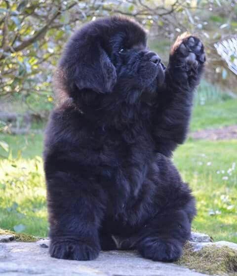 Resultado de imagen para newfoundland raising paw
