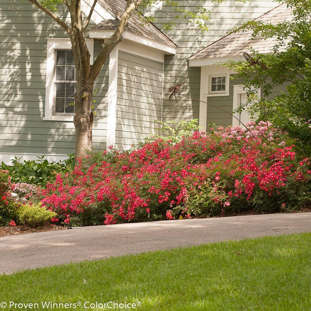 Simple Rose Garden: Oso Easy® Cherry Pie - Landscape Rose - Rosa X