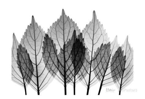 Leaf Explosion in Black and White Kunst von Albert Koetsier bei AllPosters.de