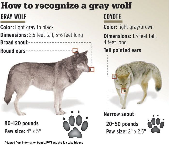Difference Between Fox And Coyote: Gray Wolf - Coyote Comparison