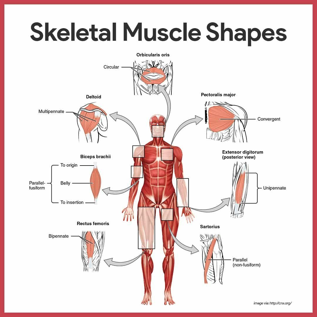 Muscle Labeling Worksheet Pdf Muscular System Anatomy And Physiology Nurseslabs In 2020 Muscular System Muscular System Anatomy Skeletal Muscle