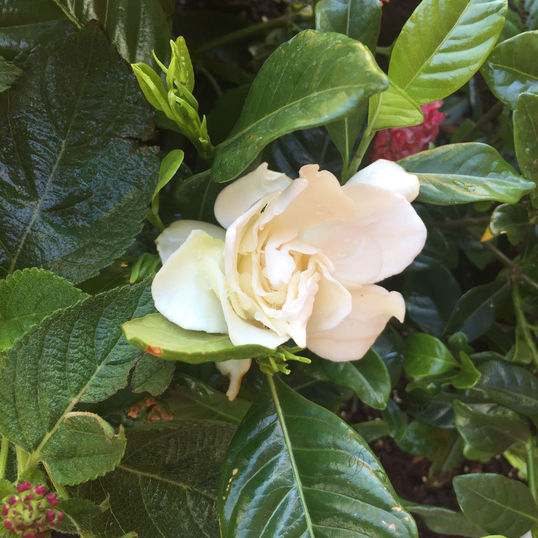 Spring S First Gardenia 2019 Bloom Flowers Rose