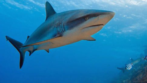 "San Jose State Researcher's Rare Sharks Featured On Discovery Channel's ""Shark Week"" 
