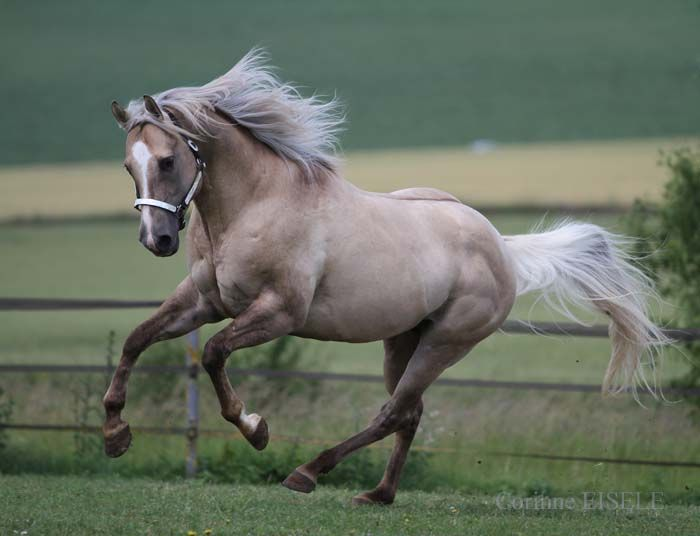 dunalino (palomino dun) - Quarter Horse stallion Hollywood ...