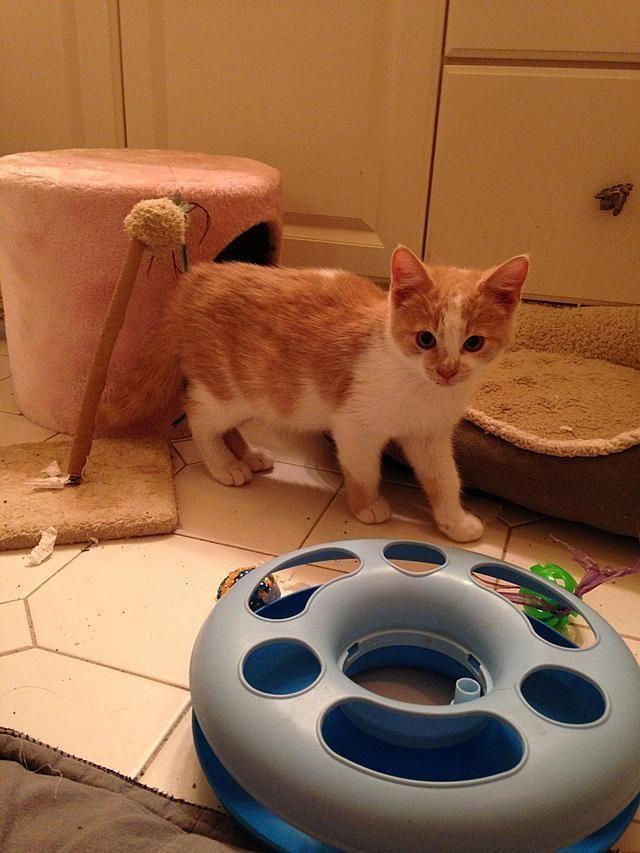 Adopt Teddy On American Shorthair Cat American Shorthair Pet Finder