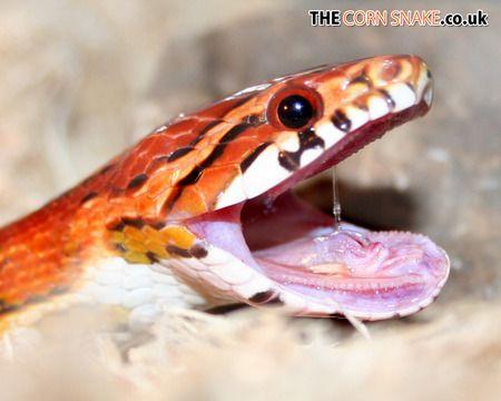 Corn Snake Yawn Desktop Nexus Wallpapers Corn Snake Snake Cute Little Baby,How To Get Rid Of Flies In Potted Plants