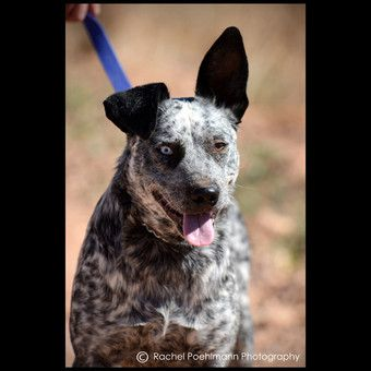 Pin On Cattle Dogs