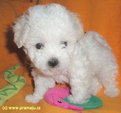 Bessy 1/2012b - Bichon Bolognese / Boloňský psík