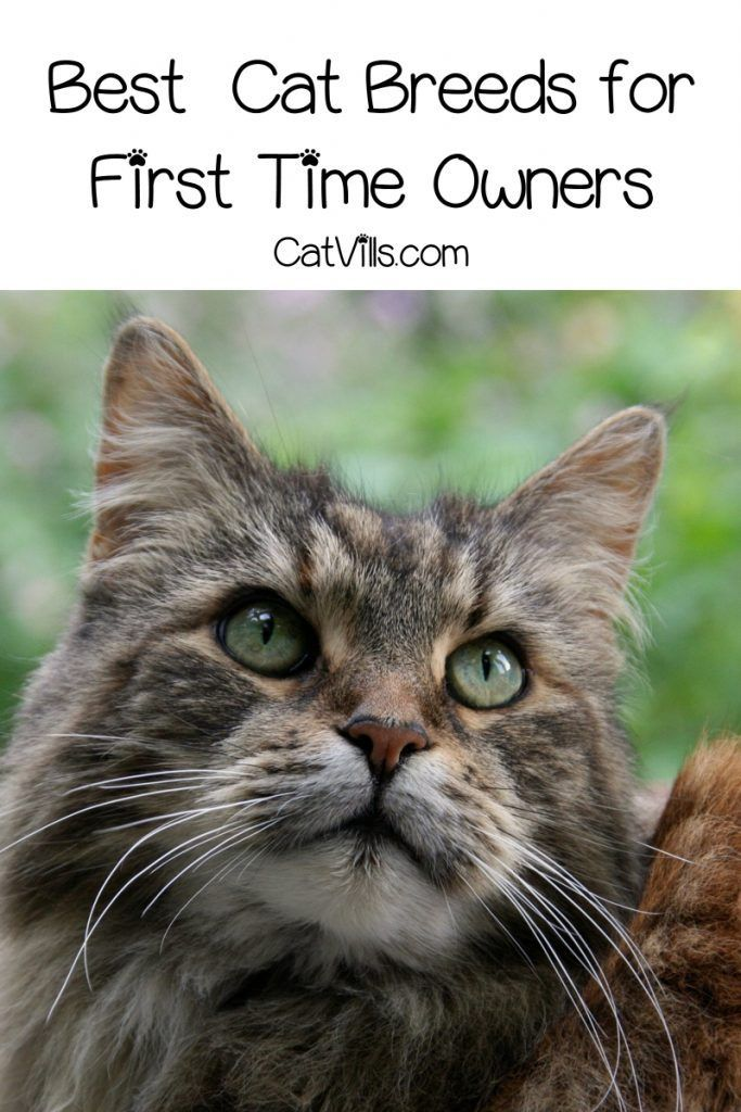 Best and Worst Cat Breeds for First Time Owners Cat