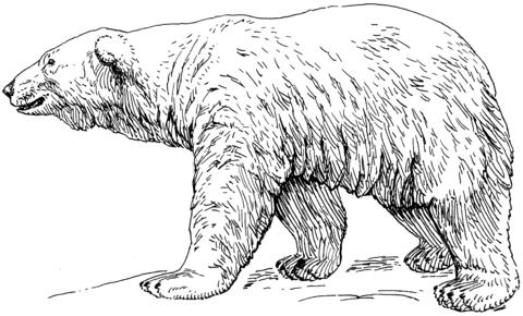 Oso Polar Caminando En La Nieve Dibujo Para Colorear Oso Polar Dibujos Para Colorear Oso Polar Dibujo