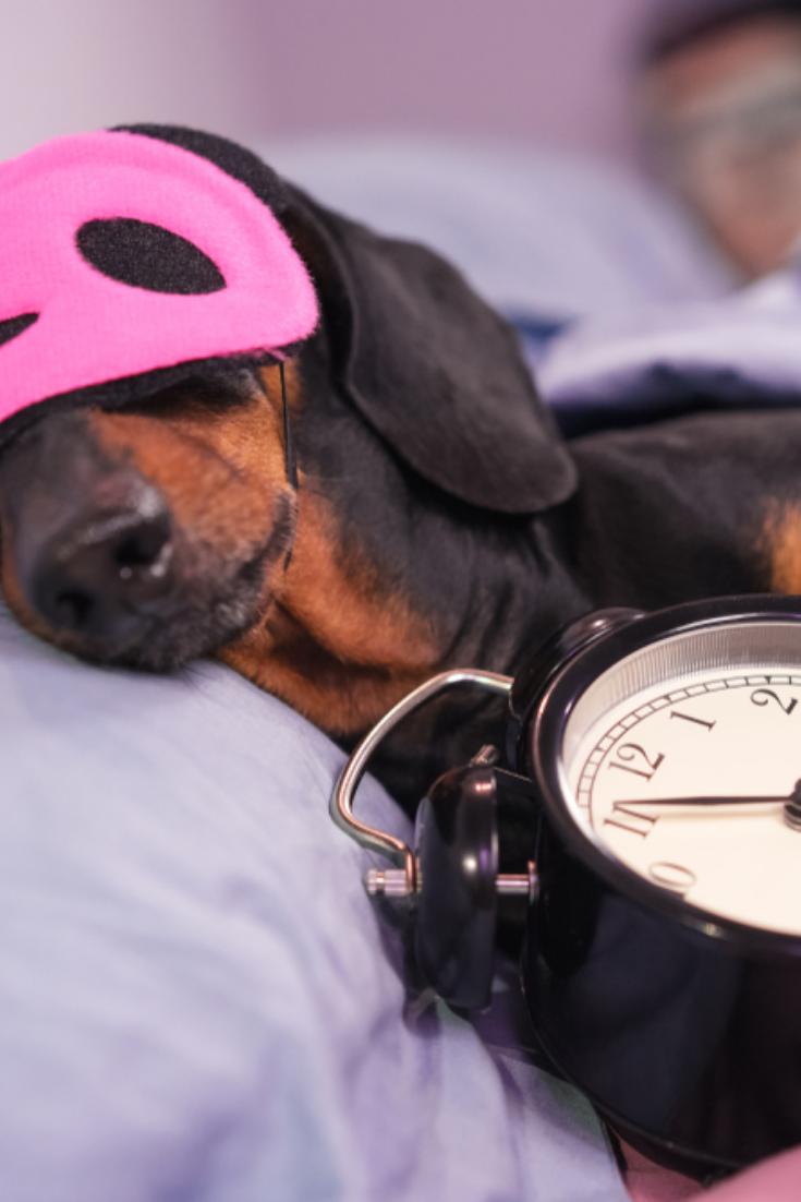 Black And Tan Dog Breed Dachshund Sleep In Bed With Sleeping Mask