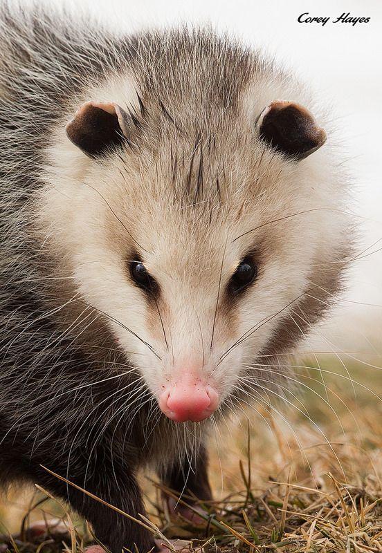 Opossum by Corey Hayes on Flickr. Pretty little possum.