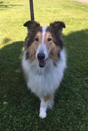 Collie Dog For Adoption In Chantilly Va Adn 551598 On Puppyfinder Com Gender Female Age Adult Dog Adoption Collie Dog Collie Puppies