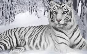 Resultado de imagem para tigres brancos