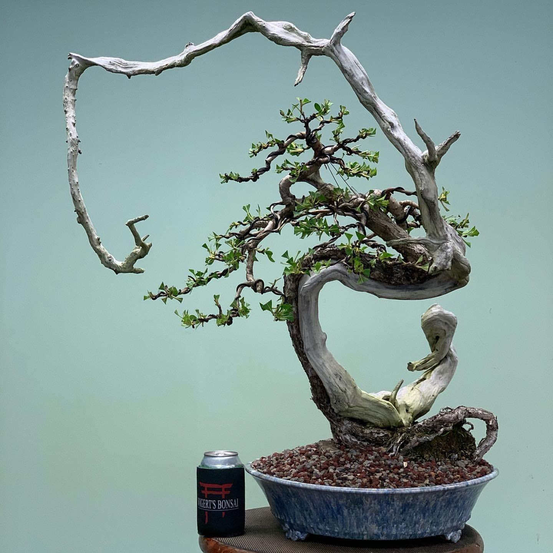 34 Flowering Fukien Tea Bonsai Tree Care Pics Bonsai Gallery Fukien Tea Bonsai Bonsai Tree Bonsai Tree Care