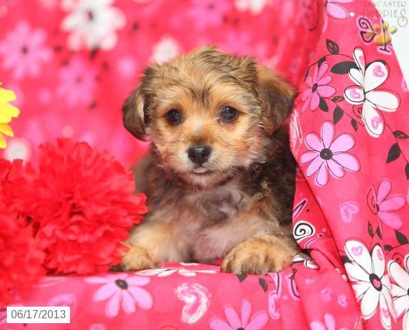 Desire Yorkiepoo Puppy For Sale In Ephrata Pa Yorkiepoo
