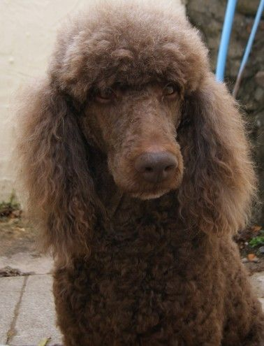 Pin On Standard Poodles Are Fabulous