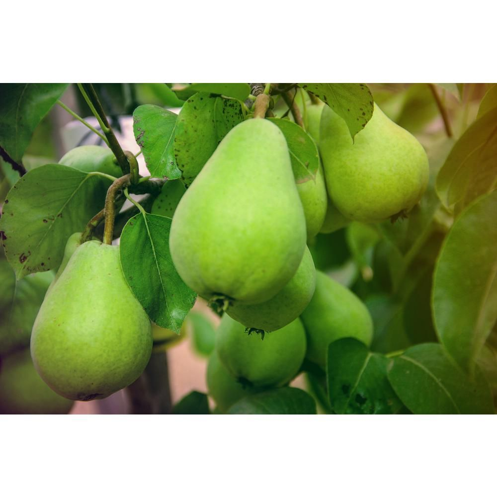 Online Orchards Dwarf D Anjou Pear Tree Bare Root Ftpr005 The Home Depot Dwarf Fruit Trees Pear Varieties Pear Trees