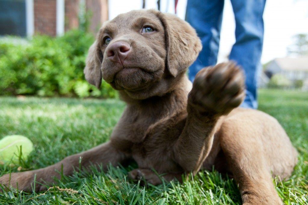 Chesapeake Bay Retriever Chesapeake Bay Retriever I Love Dogs Crazy Dog
