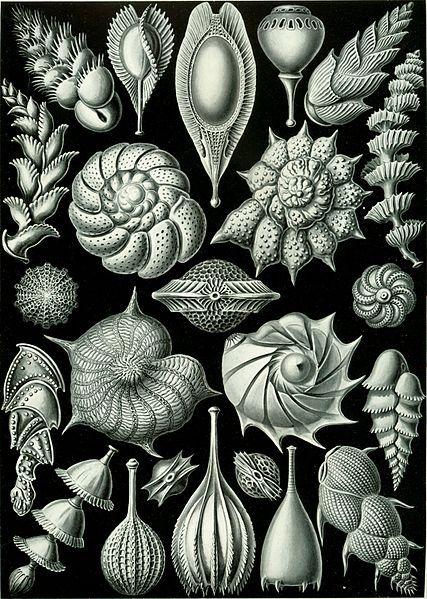 Haeckel Thalamophora 81