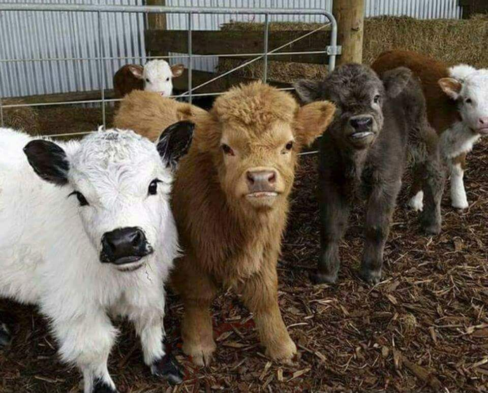 Pin by Marty Sapp on Nature Cute cows, Cute animals