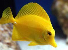 Yellow Yellow Fish Beautiful Fish Tropical Fish