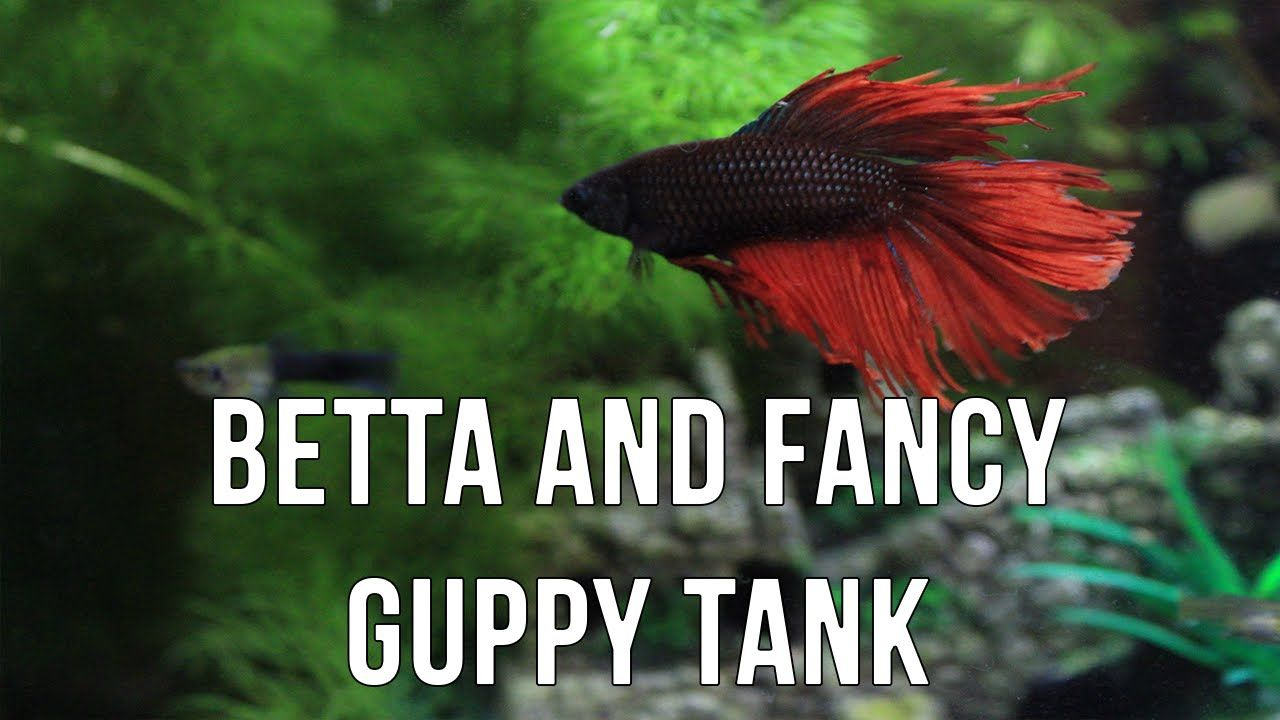 Can Guppy Fish And Betta Fish Share A Tank Betta Fish Beta Fish Tank Betta